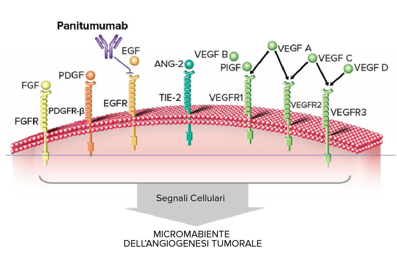 Drug Targets Panitumumab